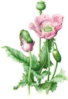 opium-poppy.jpg