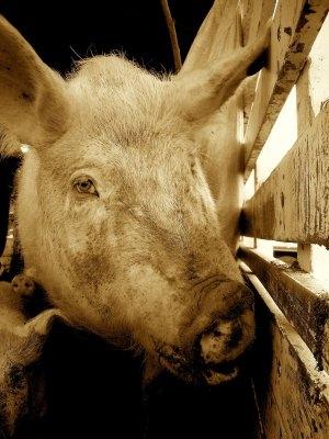 PigSepia_1_1.jpg